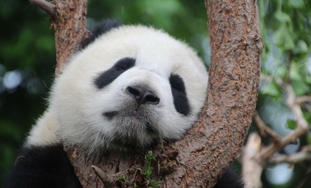 panda-1236875_1920